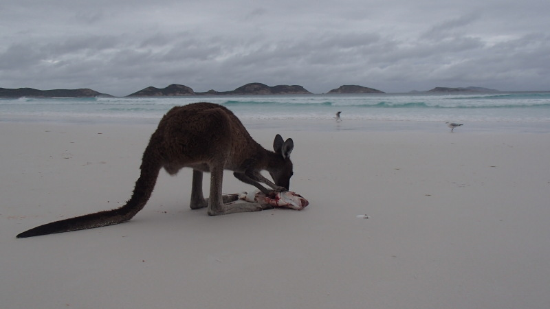 Kangaroo eating a fish